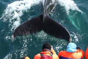 velryby-exkurze-Island